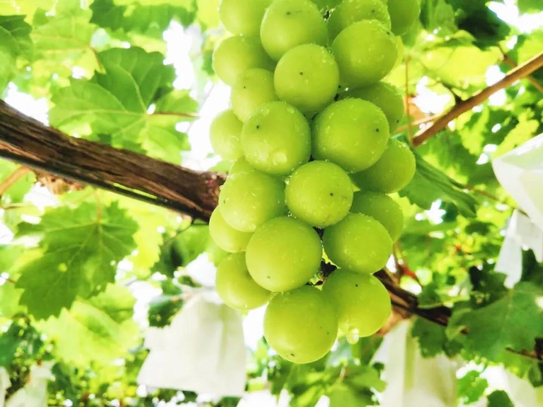 Press Release] Asia Fresh Expo: New Grape Brand Presented | China