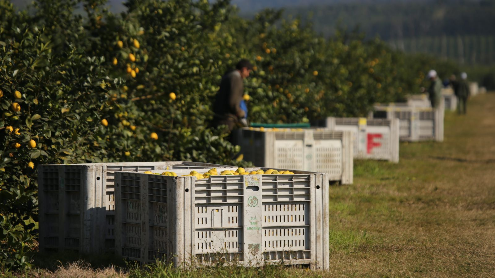 San Miguel lemon farm crates