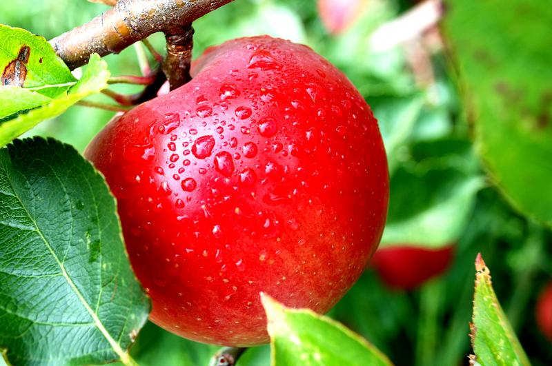 Russia Becomes the Fifth-Largest Importer of Apples from China