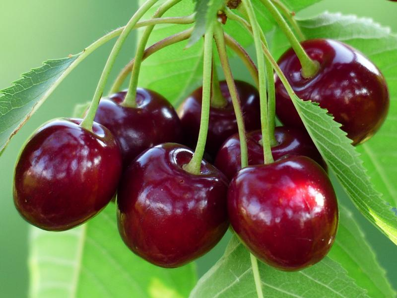 Cold Treatment No Longer Required for Turkish Cherries Imported to
