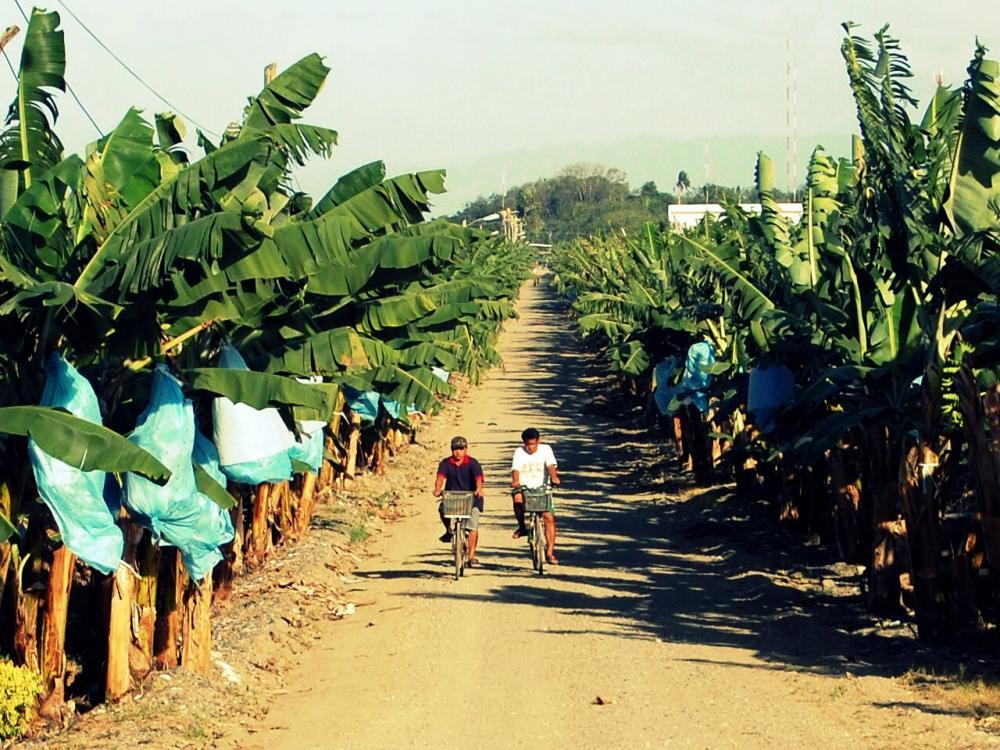 Banana Plantation in Panabo City, Philippines