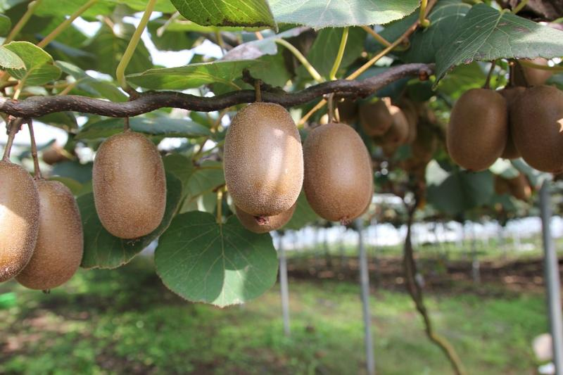 chilean kiwifruit and china keys to continued growth. Black Bedroom Furniture Sets. Home Design Ideas