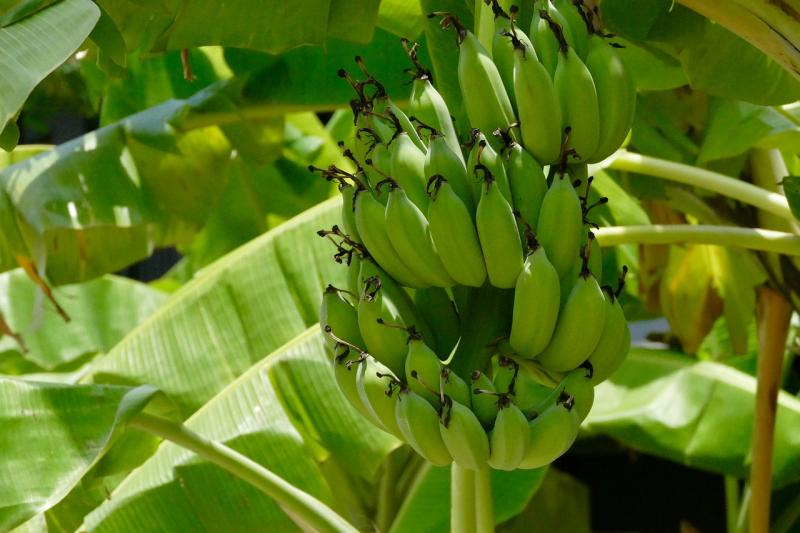 Laos Bananas Admitted to China's Allowable Imported Fruits List