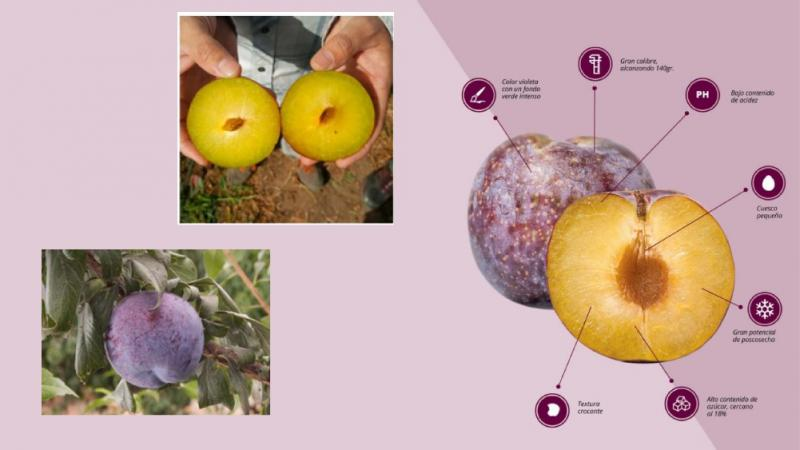 New Plum Variety Highlights Development Of Chilean Stone Fruit In China Produce Report