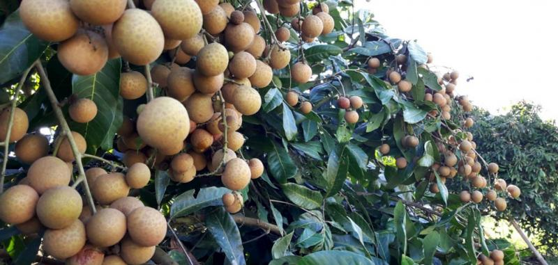 THAILAND'S BUMPER LONGAN CROP Prices ease with heavy ...
